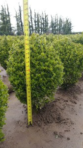 Buxus Suffruticosa 21-24""
